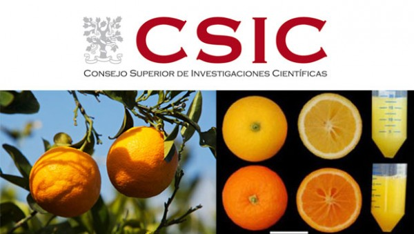 Investigadores del CSIC obtienen naranjas más ricas en antioxidantes