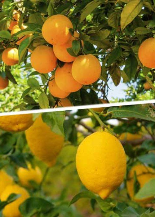 Caja de Naranjas y limones.