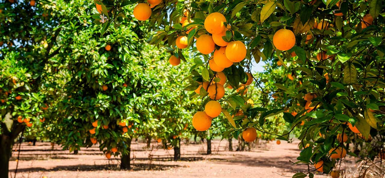 Campos de naranjas valencianas