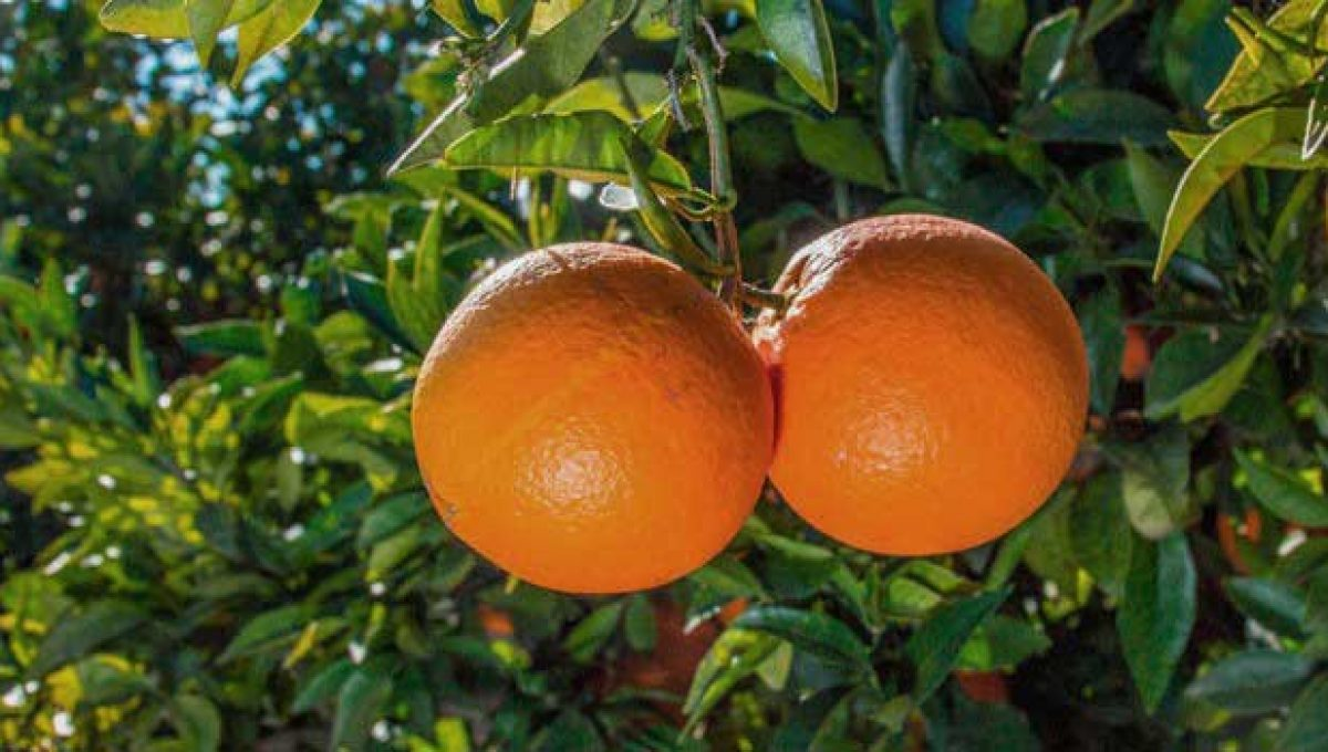 Comprar naranjas por internet Navel Power