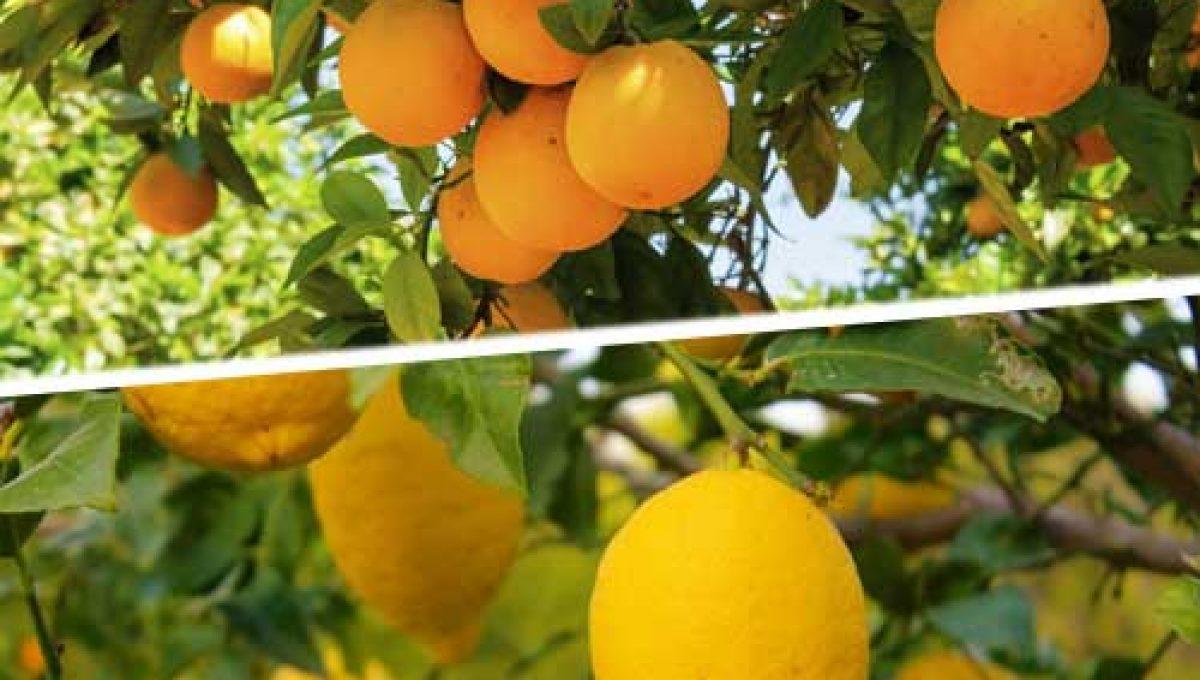 Caja de Naranjas y limones. Agotado