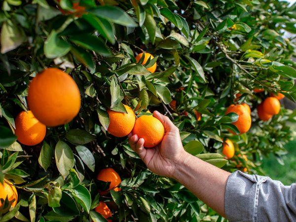 El origen de la naranja