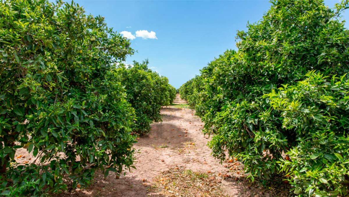 Seguimos con los preparativos de nuestros campos para la óptima producción de naranjas y mandarinas.
